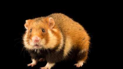 Hamster Selvagem Mais Raro do Mundo em Perigo Crítico de Extinção