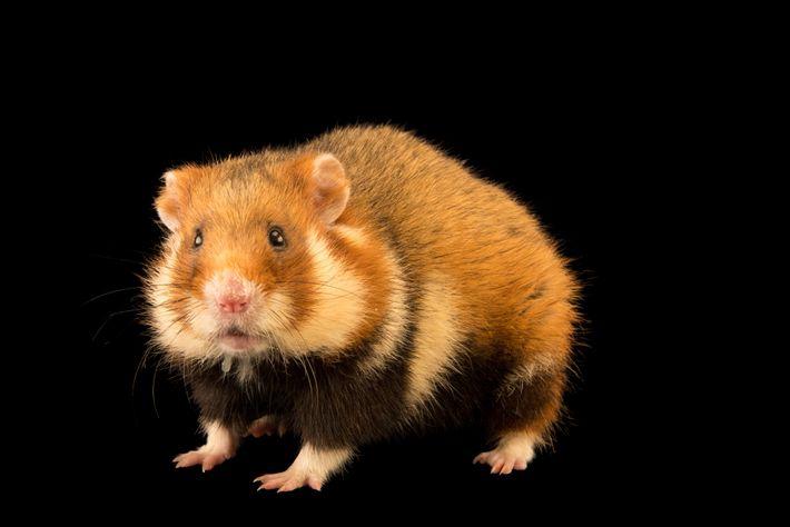 O hamster europeu, também conhecido por hamster-comum, já foi muito abundante na Europa e no Sudoeste ...