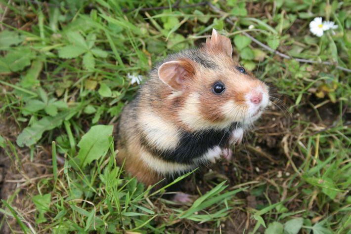 Um hamster europeu que foi criado em cativeiro está num recinto protegido, antes de ser reintroduzido ...