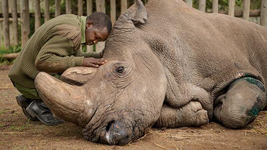 Joseph Wachira, tratador na Ol Pejeta Conservancy, no Quénia, despede-se de Sudan, o último rinoceronte-branco-do-norte. Sudan ...