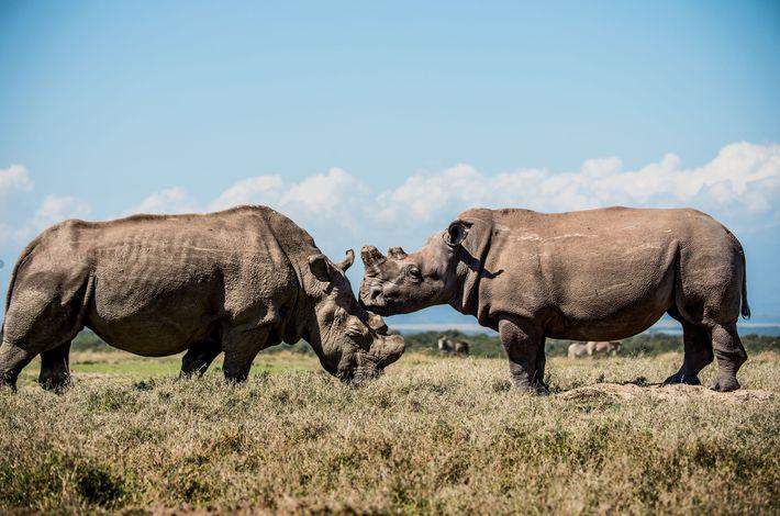 Sudan (à esquerda) socializa na Ol Pejeta Conservancy, no Quénia, com a sua neta, Fatu, uma ...