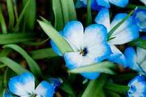 Em meados do século XX, a demanda dos jardineiros por açafrão-azul chileno deixou a planta quase ...
