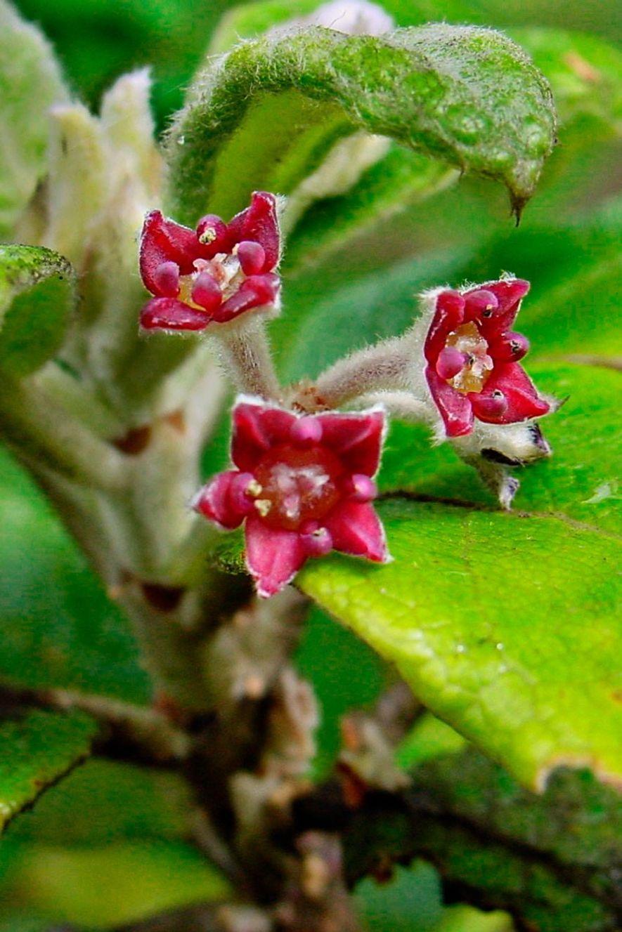 Os botânicos tentaram salvar a oliveira de Santa Helena, mas em 2003, os fungos exterminaram as ...
