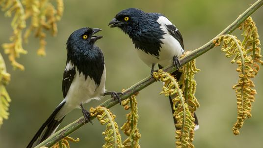 Magpie Tanagers