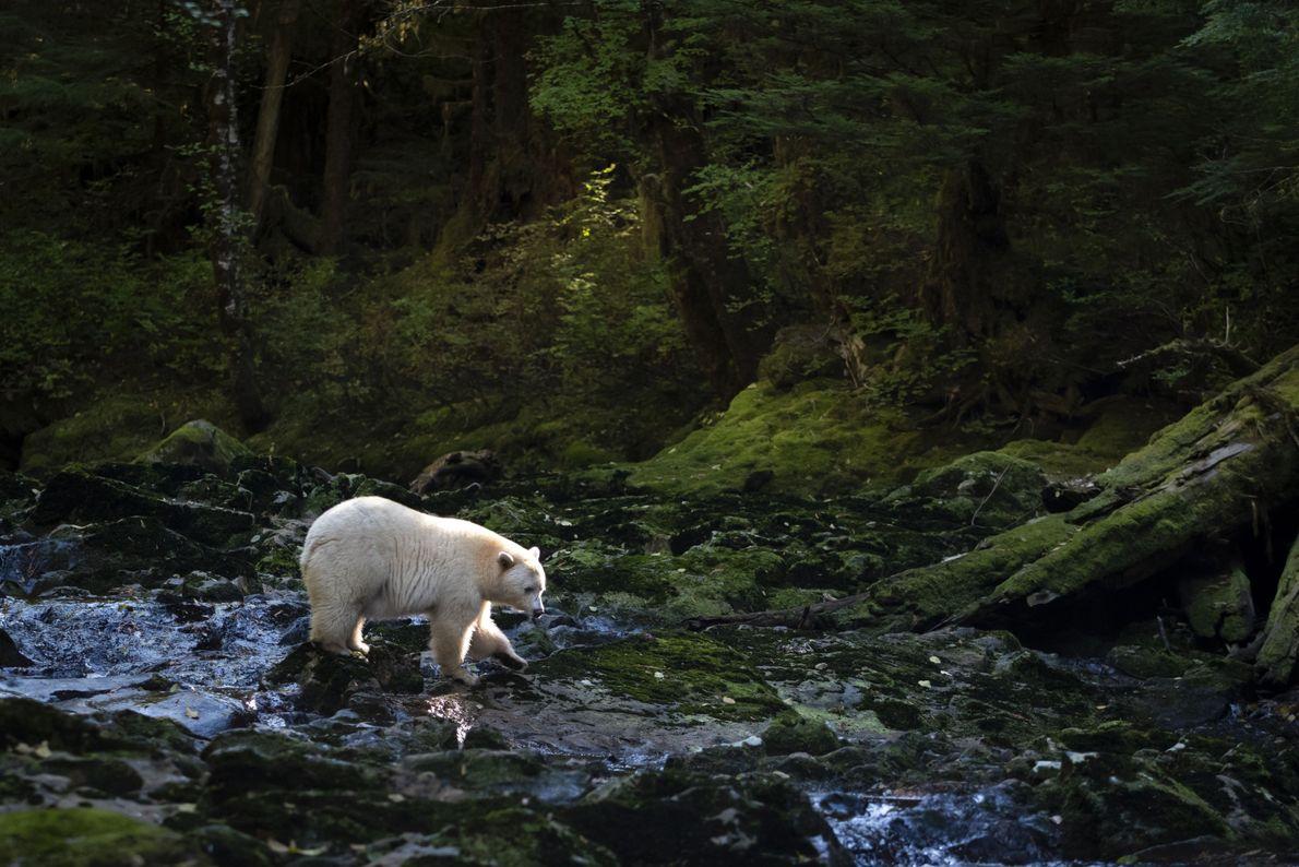 Urso Faminto