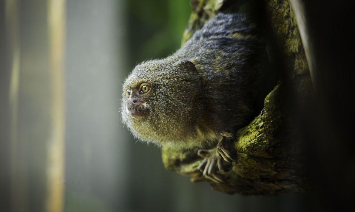 Mini Macaco