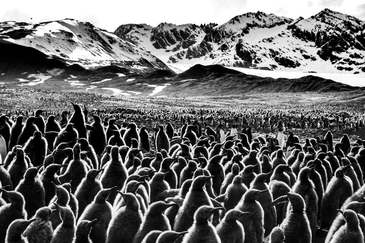 Desfile de Pinguins