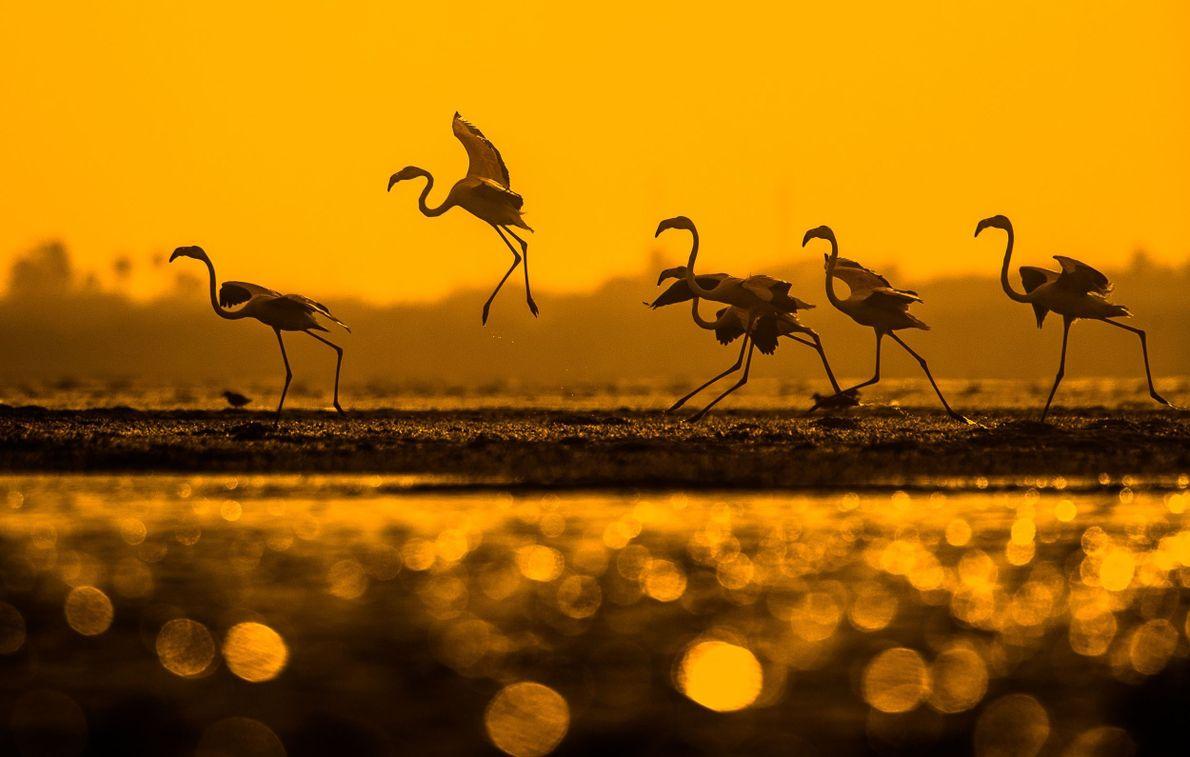 Asas de Flamingo
