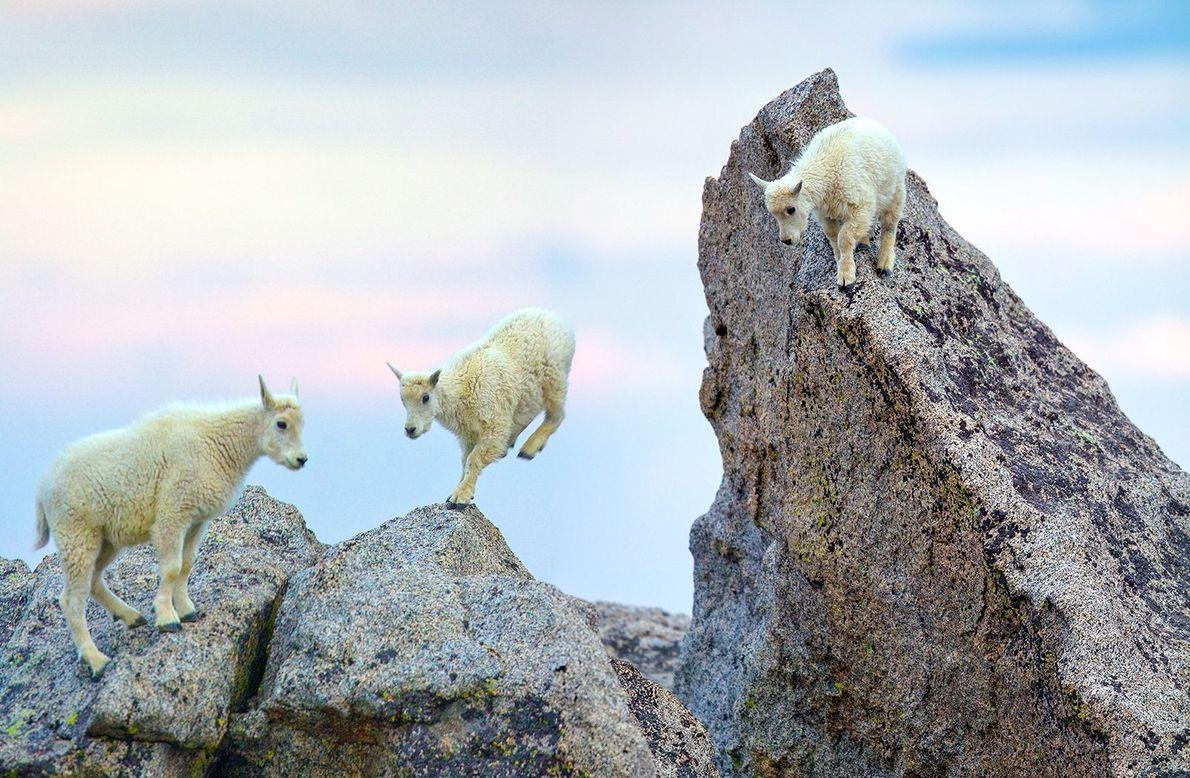Cabras Bebés Malucas