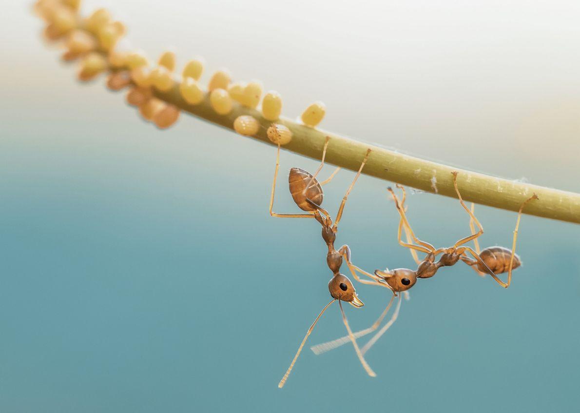 Formigas cruzam-se numa folha