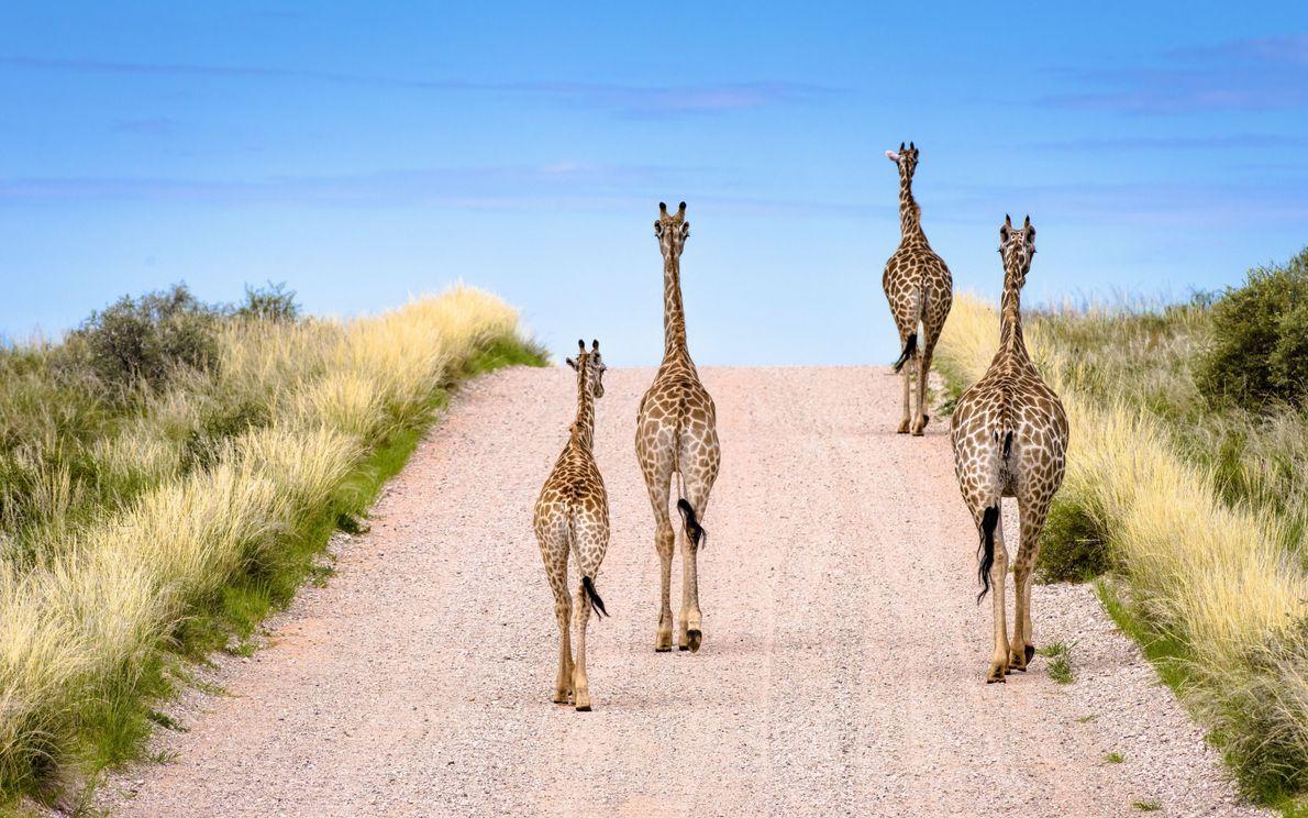 Girafas vagueiam pela estrada