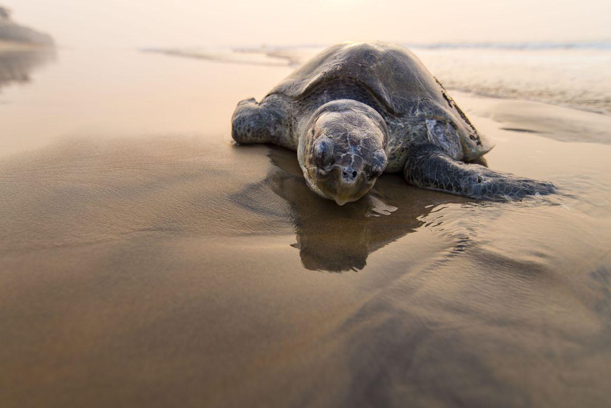 Tartaruga-pequena descansa na praia
