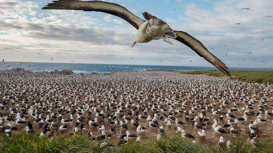 Steeple Jason, uma das ilhas mais remotas das Ilhas Malvinas, alberga a maior colónia mundial de ...