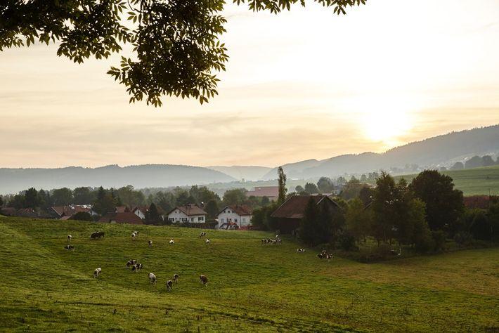 O nascer do sol sobre uma pastagem pontilhada por vacas cujo leito é utilizado na produção ...