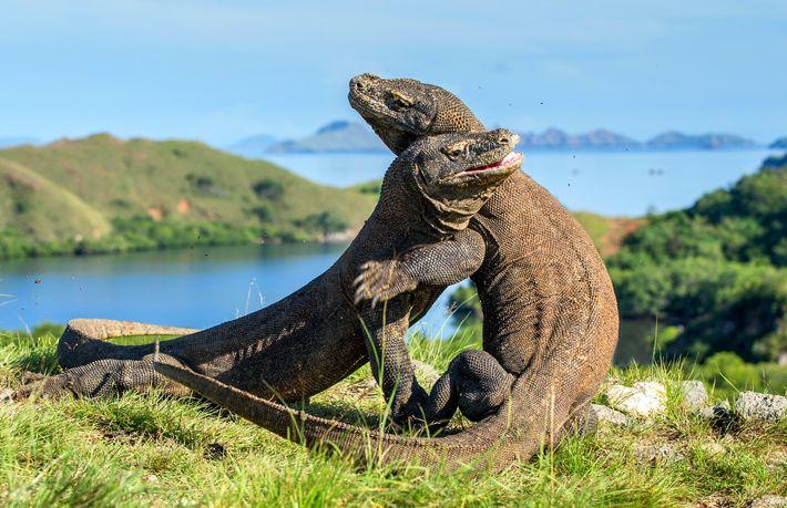 Dragões-de-komodo lutam pelo domínio no Parque Nacional de Komodo, na Indonésia.