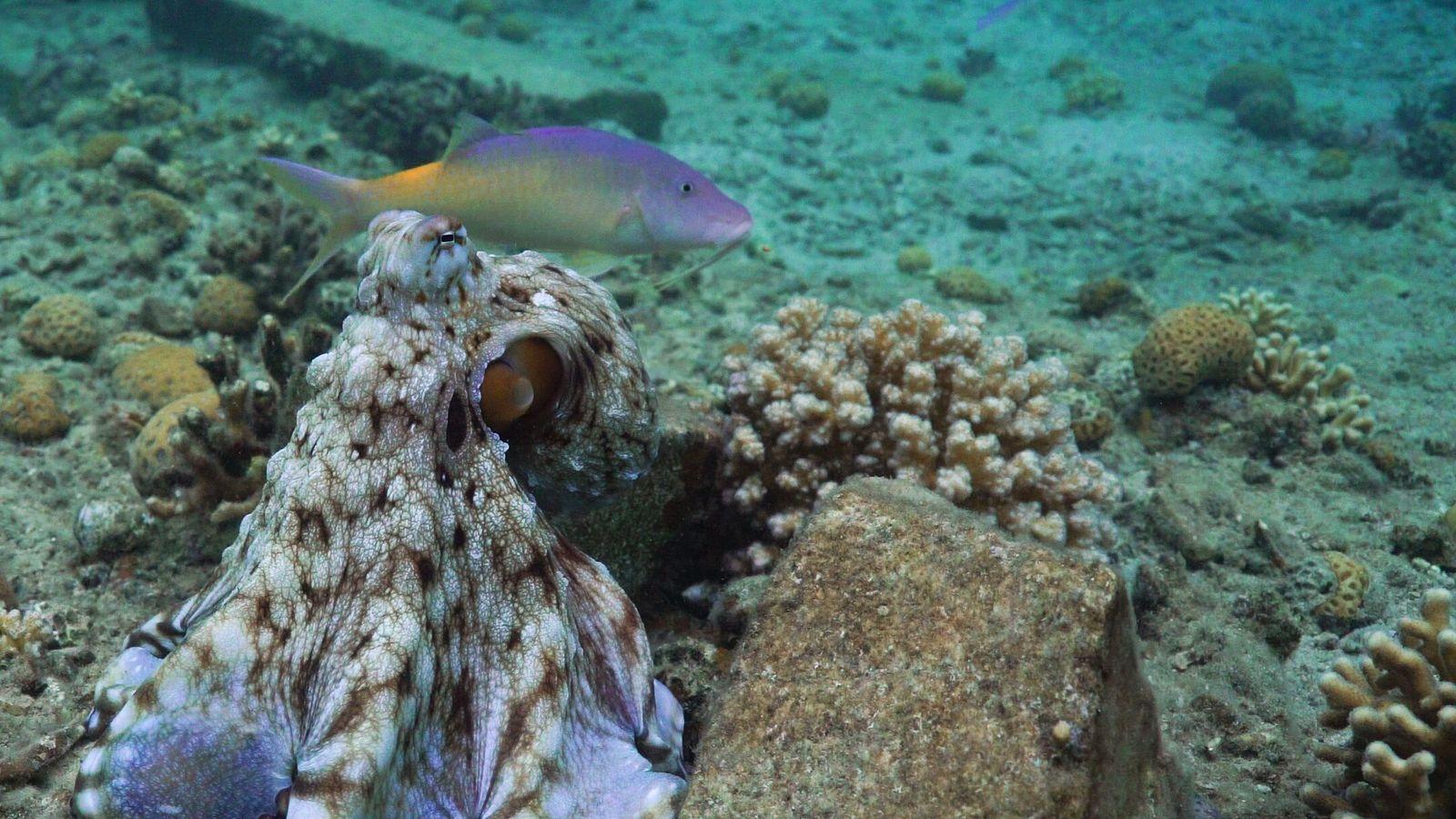 Exemplo de um grupo de caça multiespecífico composto por um polvo azul (Octopus cyanea), um Parupeneus ...