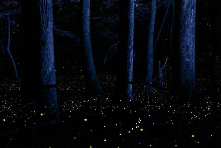 Todos os anos em maio, pirilampos iluminam as terras baixas do Parque Nacional de Congaree, na ...