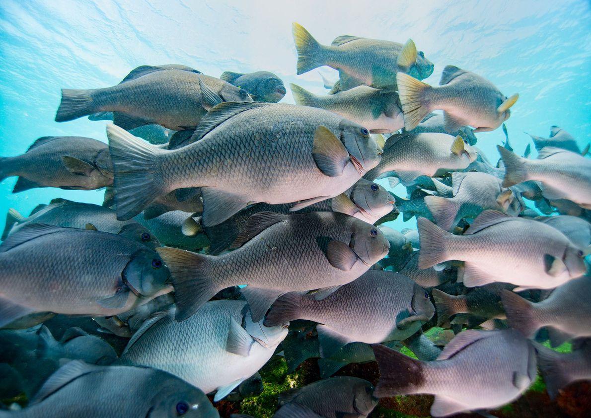 Cardume de peixes com olhos azuis, nas Galápagos.