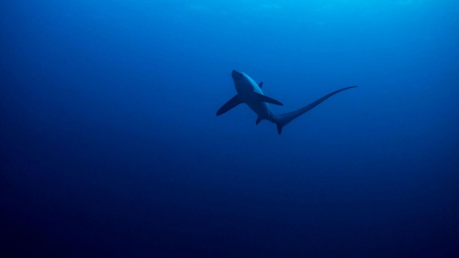 tubarão-raposa-pelágico