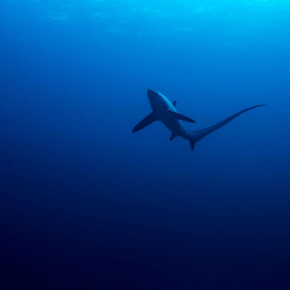 Evento misterioso provocou o desaparecimento de populações de tubarões há 19 milhões de anos