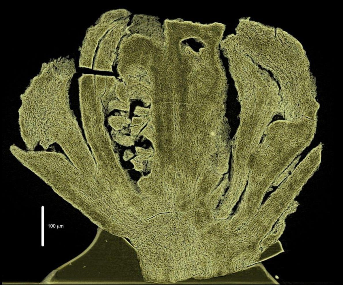 A flor do Kajanthus lusitanicus, com 110 milhões de anos: o seu interior visto num corte ...