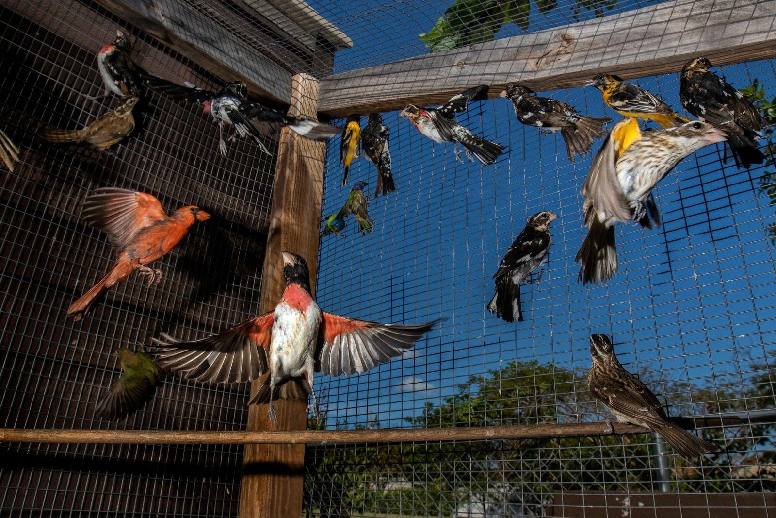 Na Flórida, todos os anos são capturadas milhares de aves canoras migratórias que abastecem um mercado ...