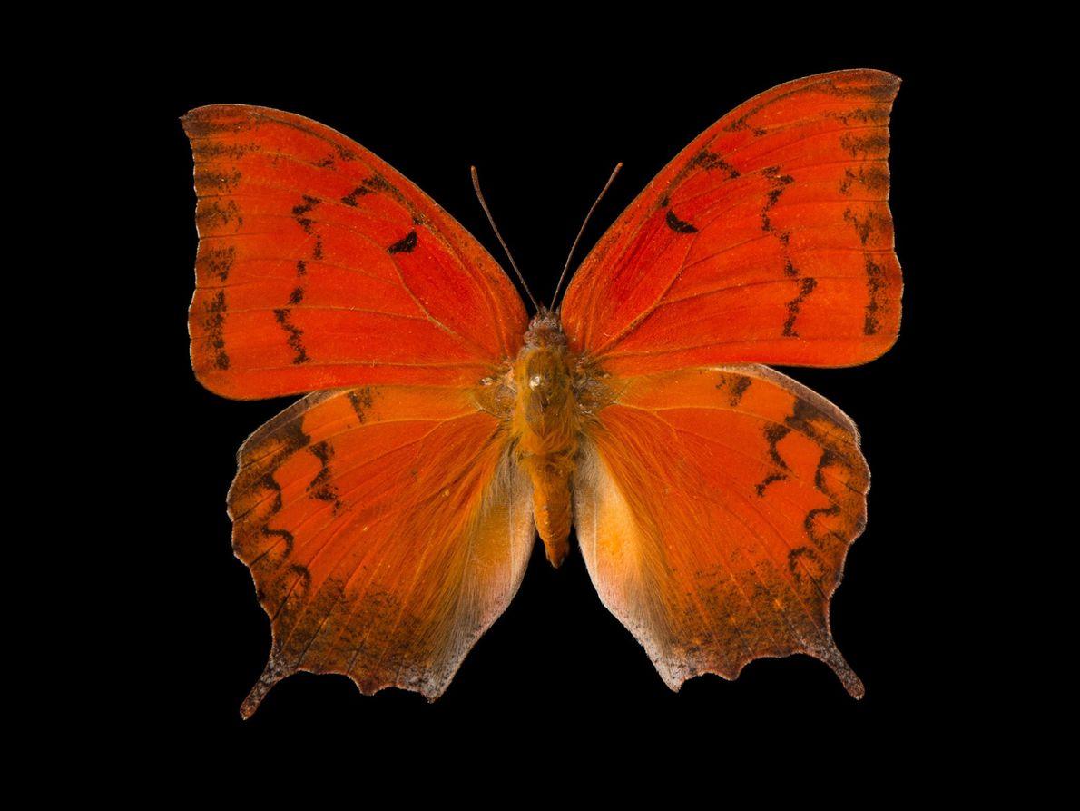 Anaea troglodyta floridalis (não foi avaliada) A única população sobrevivente desta espécie – que está em perigo ...