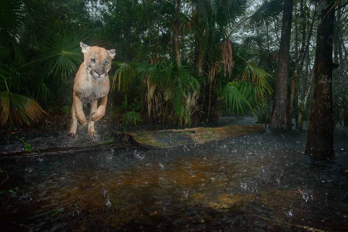 Uma pantera macho salta sobre um riacho, na Reserva Nacional de Panteras da Flórida. Este local, ...