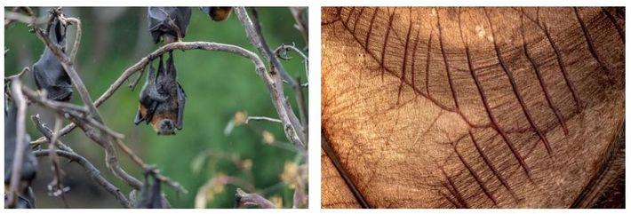 Esquerda: Uma mãe raposa-voadora-de-cabeça-cinzenta, pendurada num galho, no Parque Yarra Bend, com o seu bebé junto ...
