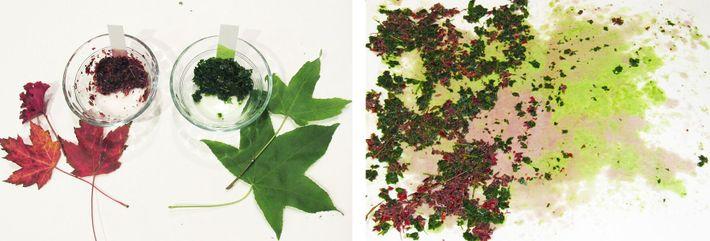 Esquerda: A tira de papel absorve o pigmento da mistura de folhas.