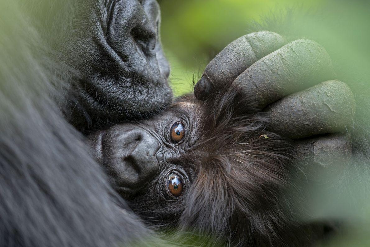 Gorilas-das-montanhas