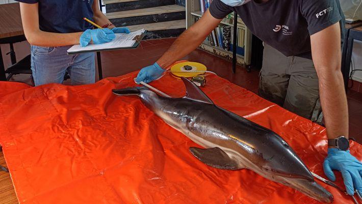 Observação de golfinho-comum encontrado na praia