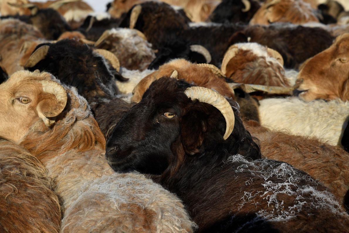Congestionamento de cabras no início da Migração da primavera, nas montanhas gélidas de Altai, na Mongólia.