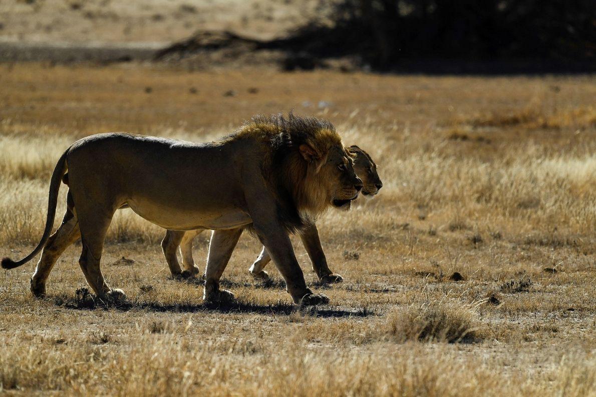 Em busca de sossego - casal de leões no período de acasalamento em busca de sombra ...