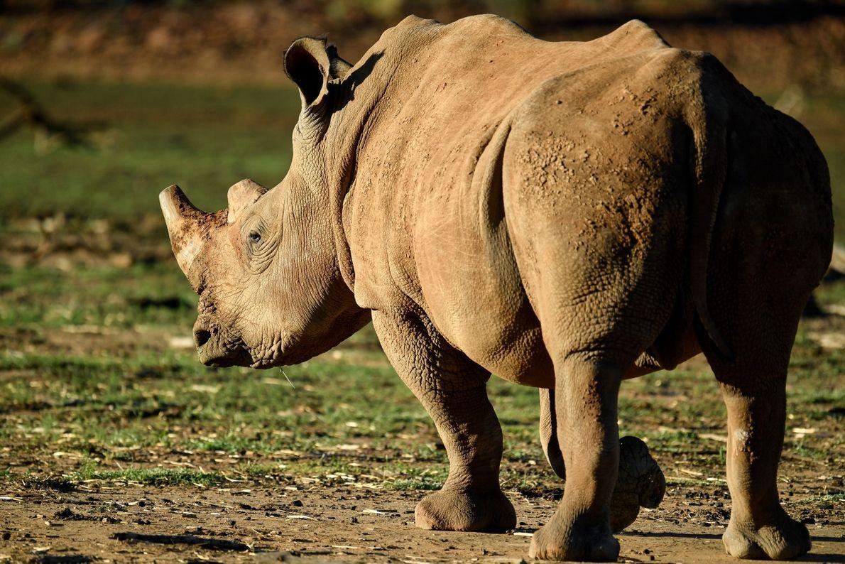 Parrudo – grande rinoceronte branco sob proteção, numa reserva na Namíbia.