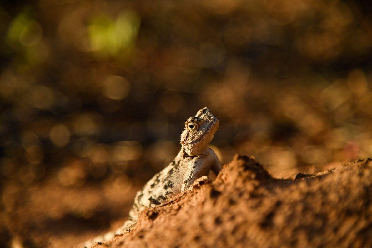 Banho de Sol – lagartixa leopardo no deserto da Namíbia.