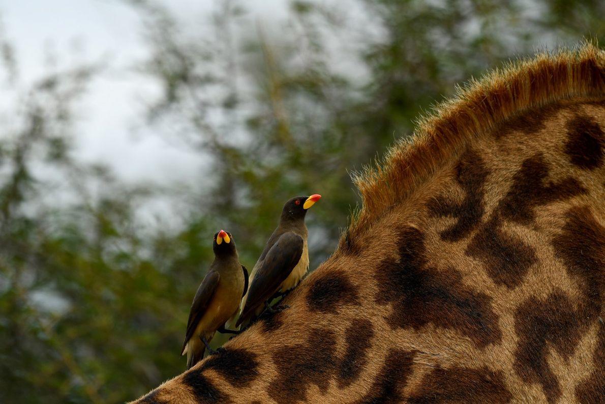 Boleia – dois pica-paus-de-bico-vermelho trabalham nas alturas (costumam alimentar-se de carrapatos em antílopes, búfalos e girafas), ...