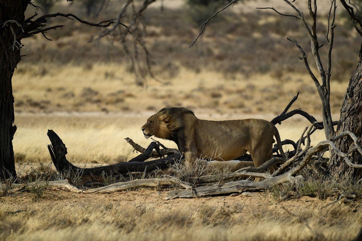 Juba Negra - leão apanhado a meio, num início de tempestade no Kgalagadi, Botswana.