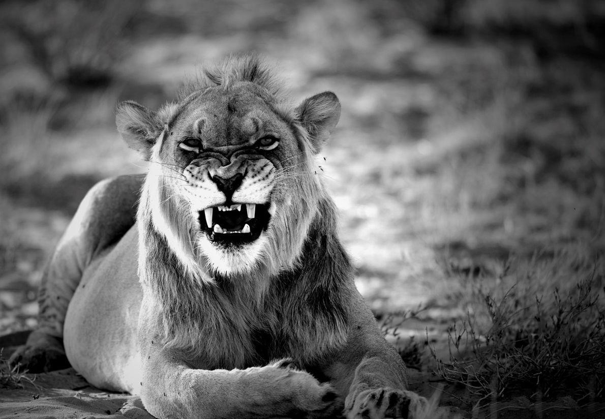 Encrenca – jovem leão de juba negra no deserto do Kgalagadi, na África do Sul.