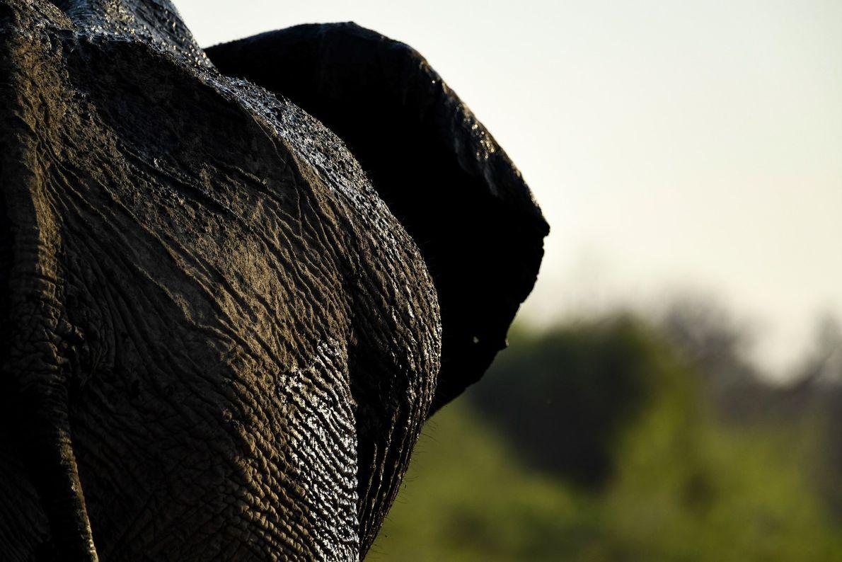 Textura – detalhes de um grande elefante macho nas margens do Rio Chobe, no Botswana.