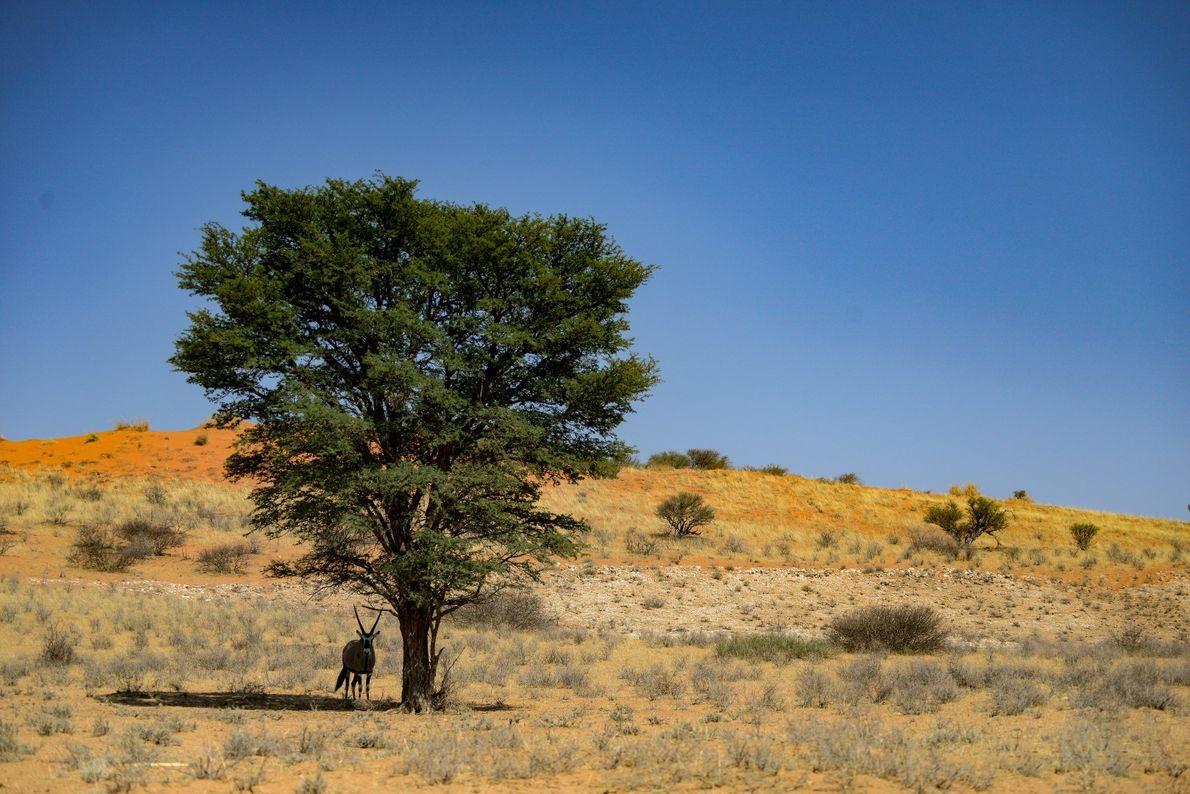 Solitário – um órix sob a sombra de uma acácia nas planícies do Kgalagadi, na África ...