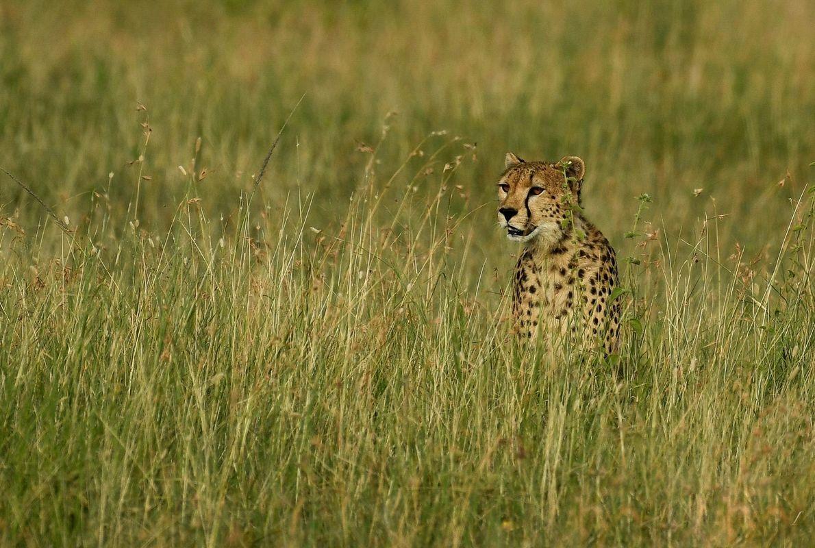 Foco – jovem chita a espreitar para uma presa nas planícies do Serengeti, na Tanzânia.
