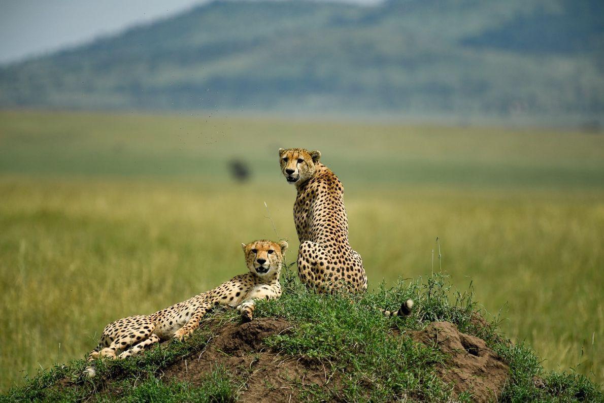 Patrulha – duas jovens chitas machos patrulham as planícies do Serengeti, na Tanzânia.