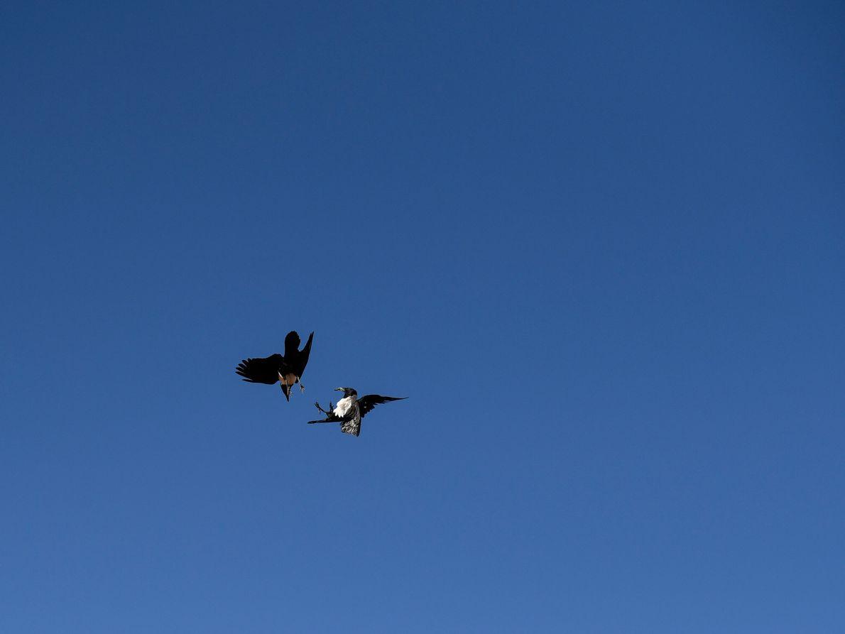 dois corvos de colarinho branco