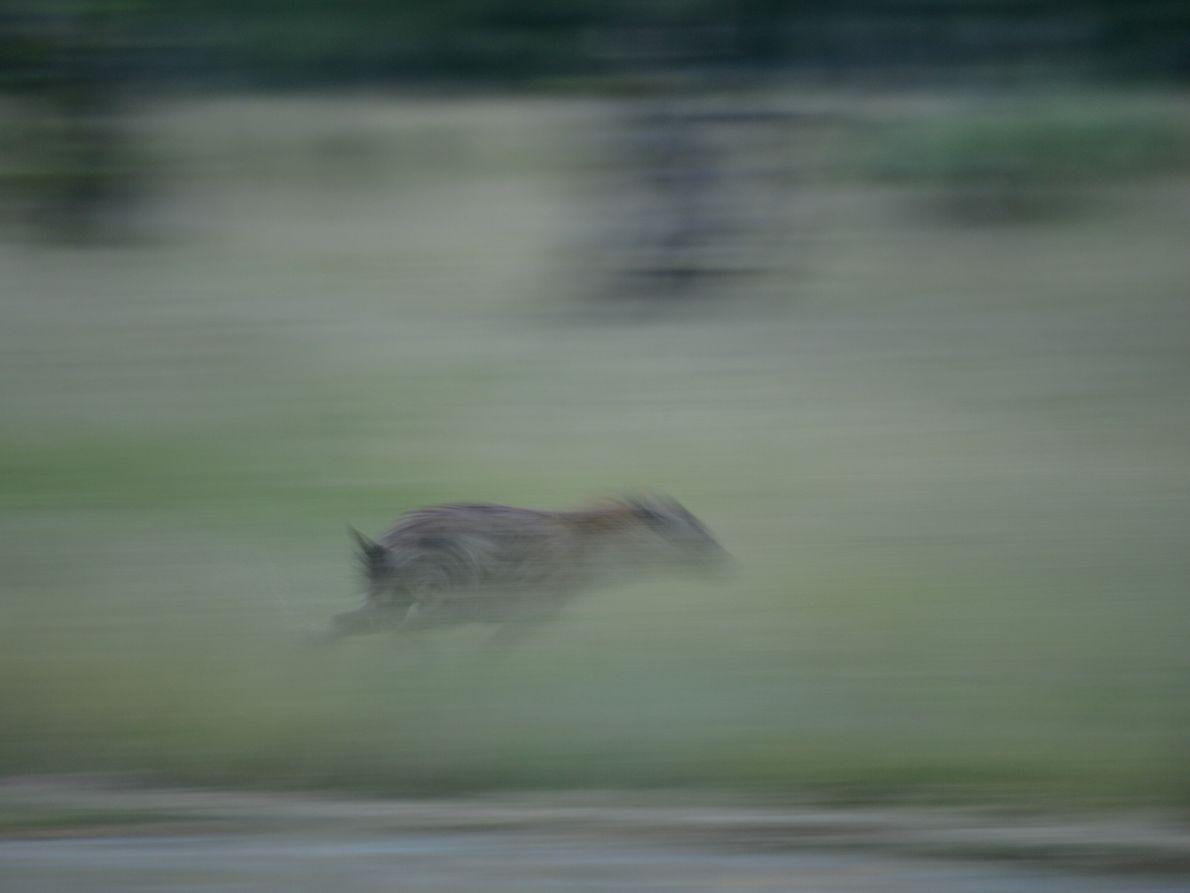 Hiena desloca-se a grandevelocidade