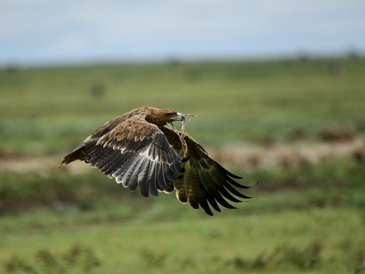 águiasobrevoa o Serengeti