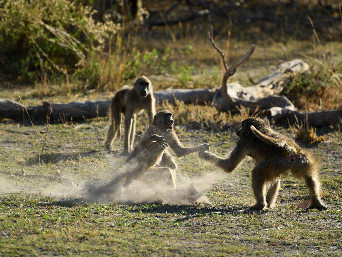 grupo de babuínos