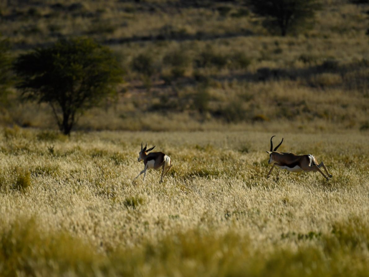 Duas cabras-de-leque