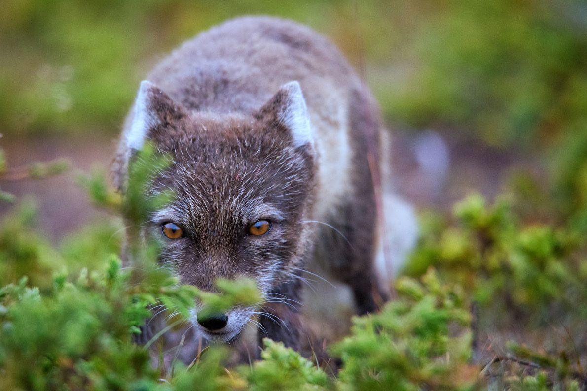 Uma raposa-do-ártico esgueira-se sorrateiramente pelos arbustos, perto do acampamento, na esperança de conseguir um pedaço de ...