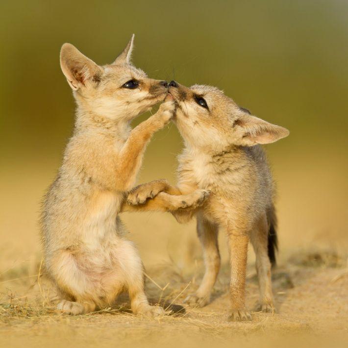 Crias de raposa-de-bengala